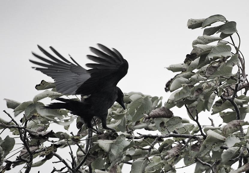 Eine Krähe in Hannover versucht einen Walnussbaum zu plündern
